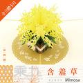 立體卡片 Mimosa 含羞草 12.7*17.8